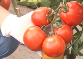 Грозди ярких красных плодов, как с картинки: томат «верлиока» — украшение грядки