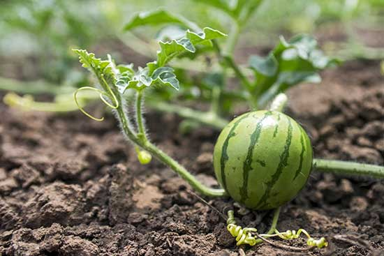 Выращивание арбузов на урале в открытом грунте и теплице: посадка, уход, а также лучшие сорта для данного региона