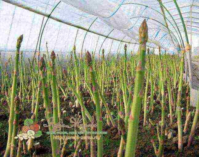 Как вырастить стручковую фасоль в открытом грунте - сорта, выращивание рассады, уход, сбор урожая