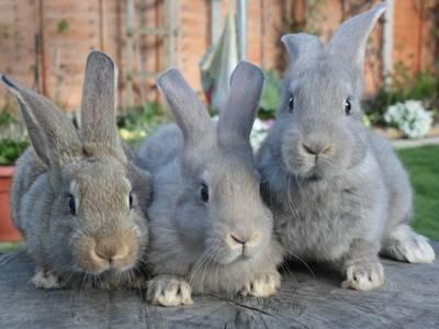 Все о кокцидиозе у кроликов: признаки болезни, лечение и профилактика все о кокцидиозе у кроликов: признаки болезни, лечение и профилактика