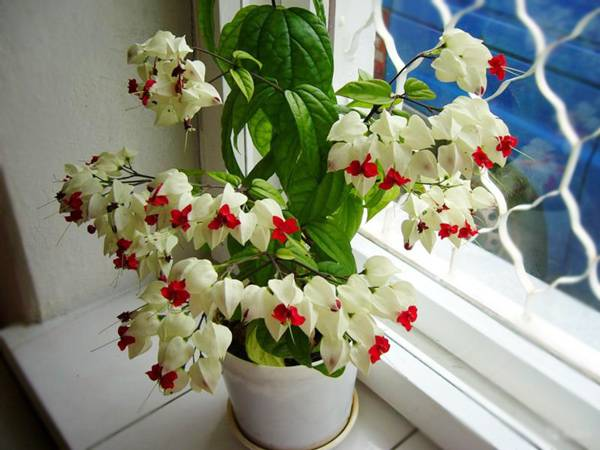 Клеродендрум: фото, уход в домашних условиях, размножение и правила посадки - sadovnikam.ru