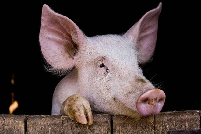Как выкормить новорожденных поросят без свиноматки