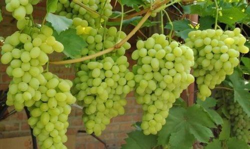 Виноград зарница - мир винограда - сайт для виноградарей и виноделов