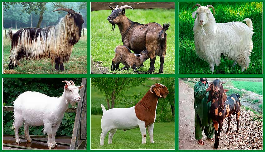 Тоггенбургские козы – швейцарская молочная порода 2021