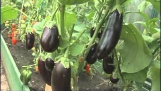 Выращивание баклажанов в теплицах: подробная инструкция