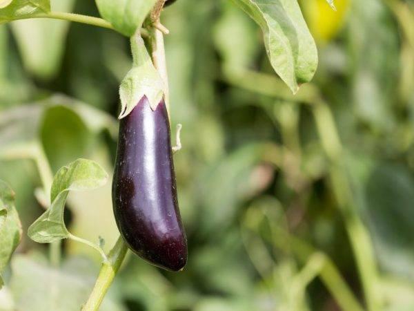 При какой температуре выращивать баклажаны