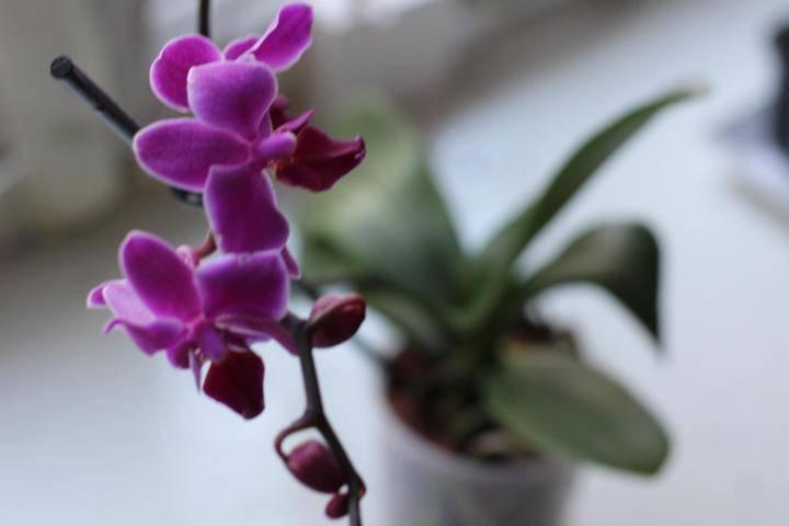Орхидея фаленопсис дикий кот: подробные фото и описание редкого гибрида