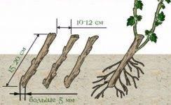 Черенкование смородины осенью: эффективные способы и средства черенкование смородины осенью: эффективные способы и средства