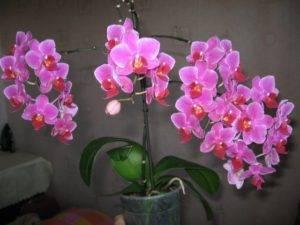 """Орхидея фаленопсис мультифлора: виды, фото и уход в домашних условиях, а также описание, что это такое и что значит """"мультицветковый"""""""