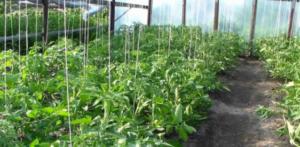 Мой огород 2. моя коллекция томатов. гиганты