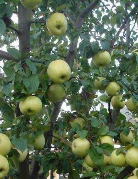 Яблоня антоновка обыкновенная: описание сорта, достоинства и недостатки, фото