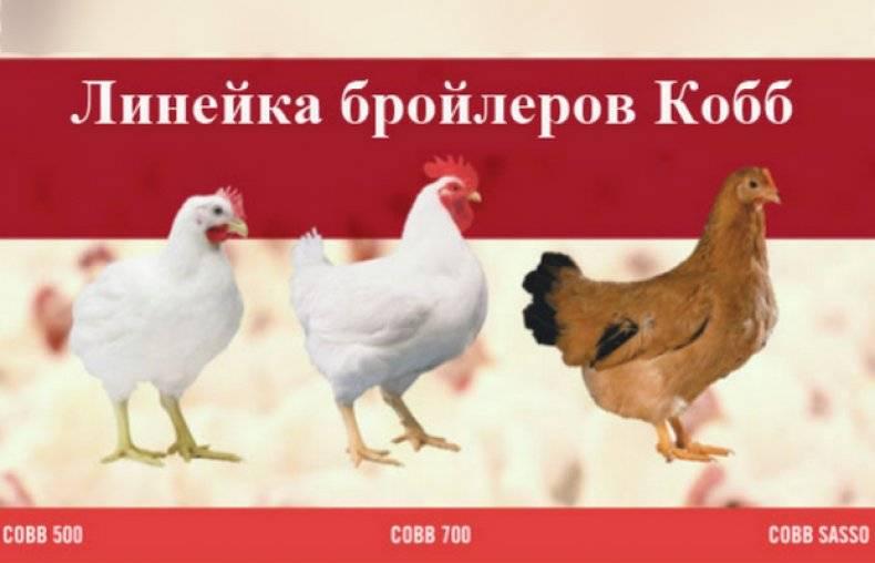 Бройлер росс 308 и кобб 500 - сравнение, характеристика, какие лучше для дома, виды цыплят, какие растут в домашних условиях
