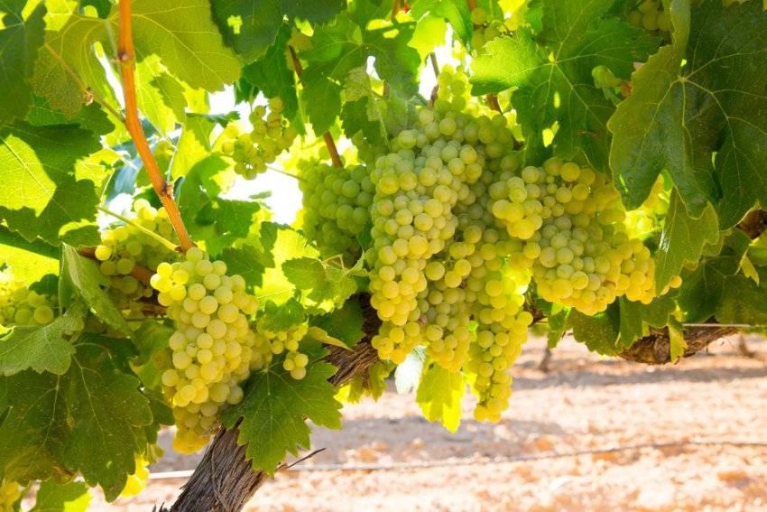 Старинный французский сорт — виноград шардоне