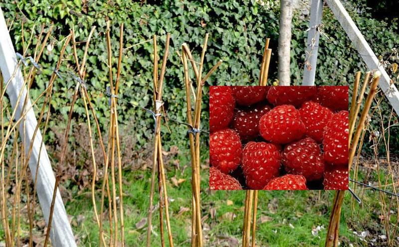 Подготовка малины к зиме: обрезка, мульча и укрытие