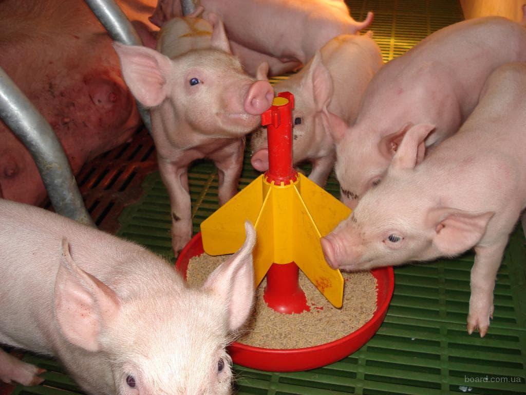 Как правильно проходит кормление свиней сухим кормом