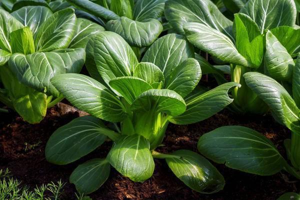 Капуста пак-чой - посадка и выращивание