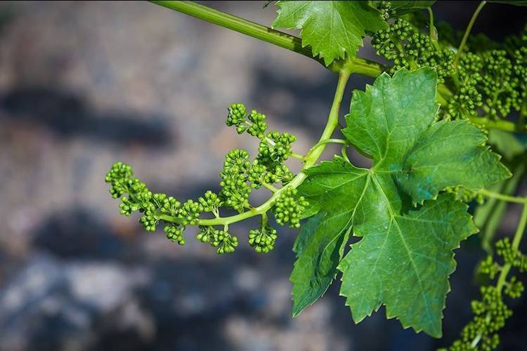 Виноград рошфор, описание сорта