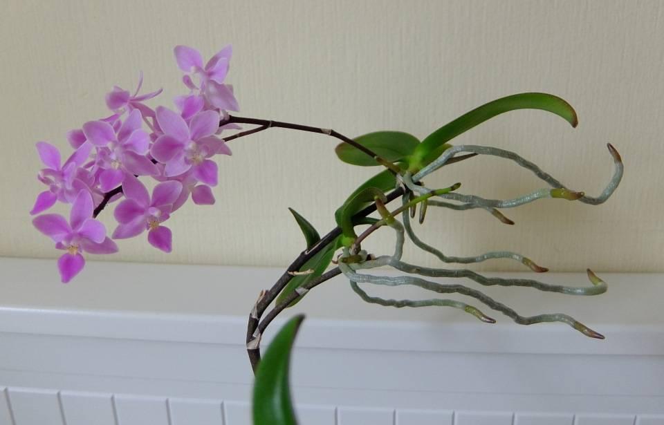 Гибридные фаленопсисы, в том числе семейство пятнистых орхидей и их каталог