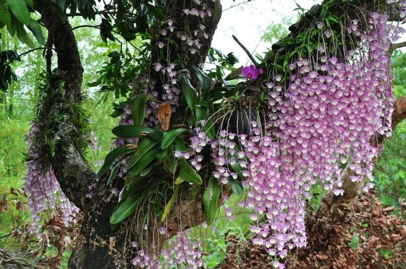 Откуда родом орхидея: страна происхождения, где появился этот цветок и в какой местности растет? русский фермер