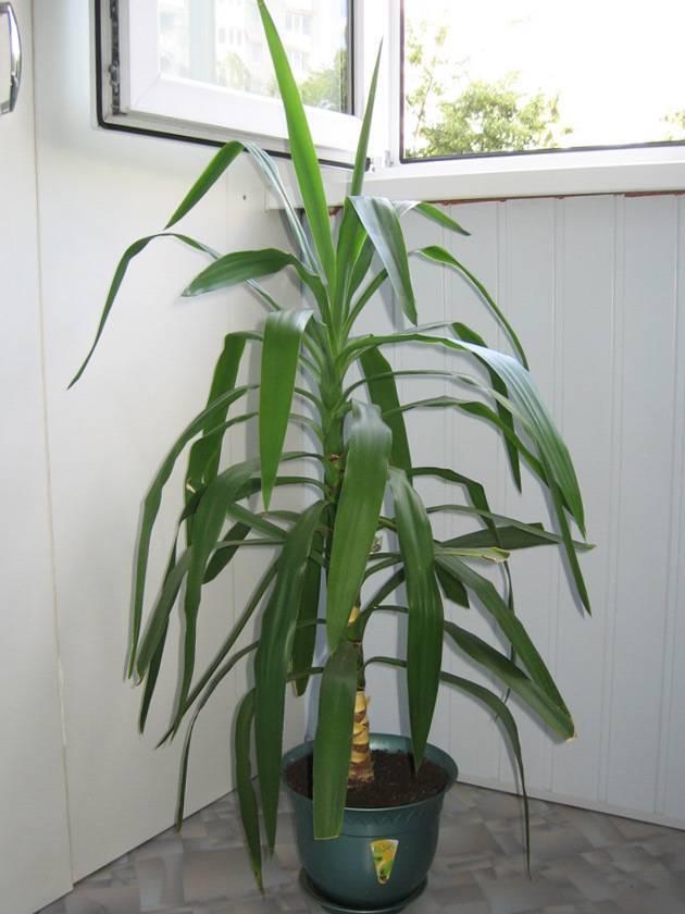 Пальма юкка: уход в домашних условиях, как пересадить пальма юкка: уход в домашних условиях, как пересадить
