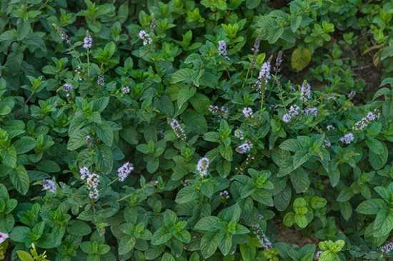 Как вырастить мяту на подоконнике – способы и особенности правильного ухода