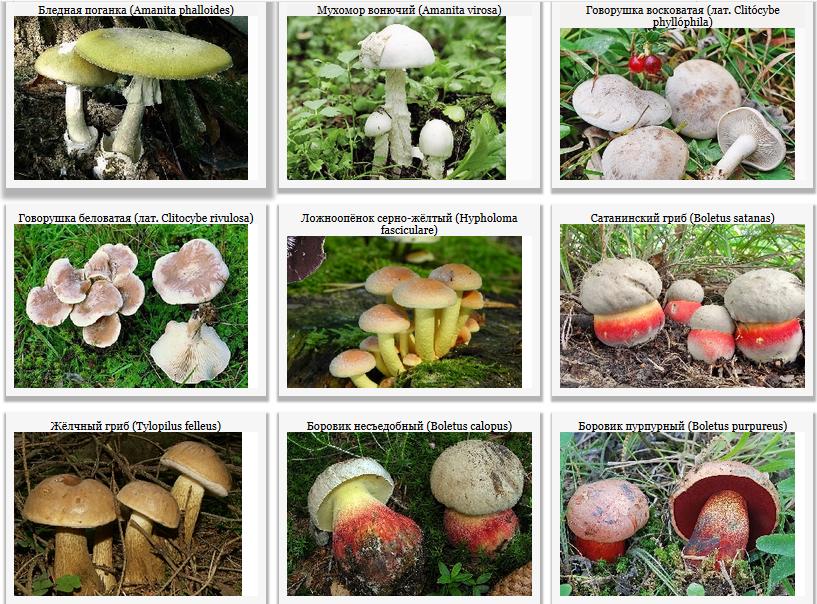 Говорушка (гриб): фото, описание, как готовить :: syl.ru