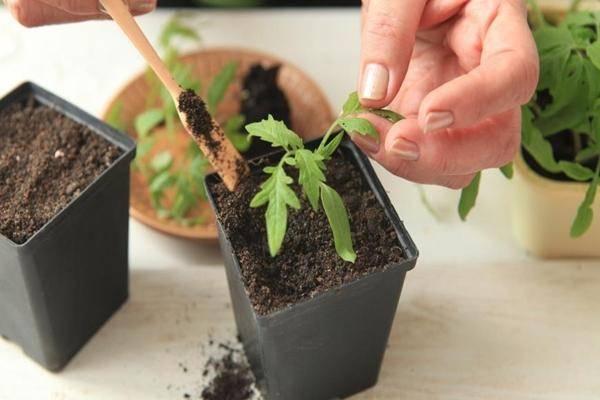 Посев томатов на рассаду в 2021 году в сибири по лунному календарю?