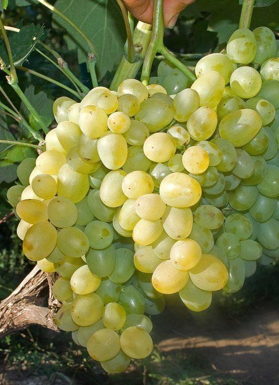 Виноград супер-экстра: описание сорта, фото, отзывы