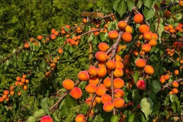 Описание абрикоса саратовский рубин