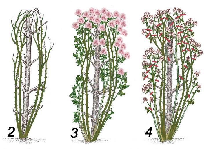 Обрезка плетистых роз на зиму: инструкция + видео