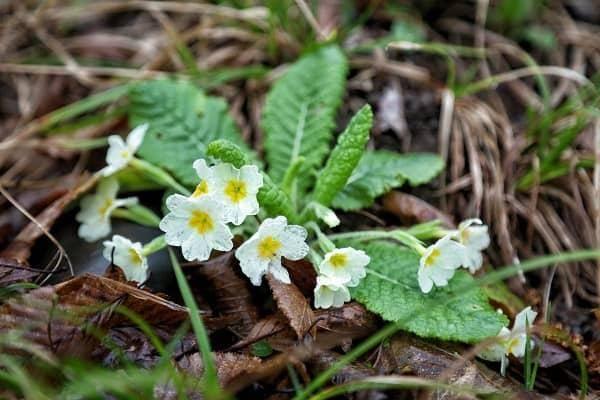 Примула садовая многолетняя. выращивание примулы из семян в домашних условиях.