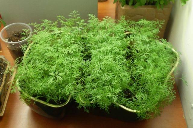 Укроп на балконе: выращивание из семян, как посадить, как вырастить