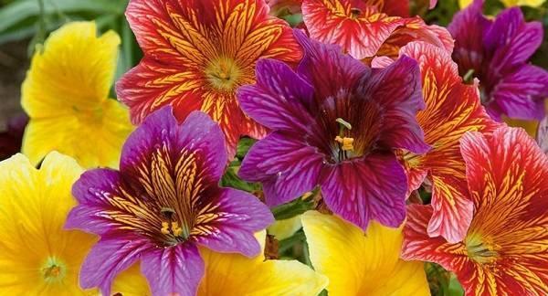 Сальпиглоссис — «диковинные трубочки»: выращивание из семян, посадка и уход