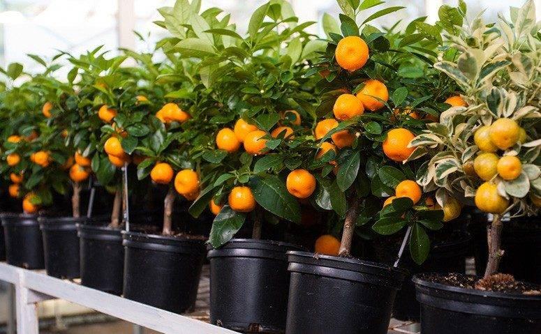 Чем подкормить лимон в домашних условиях - подкормки лимонного дерева в горшке, удобрения во время цветения и вегетации
