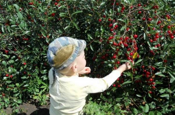Вишня драгоценный кармин описание сорта - агро журнал dachnye-fei.ru