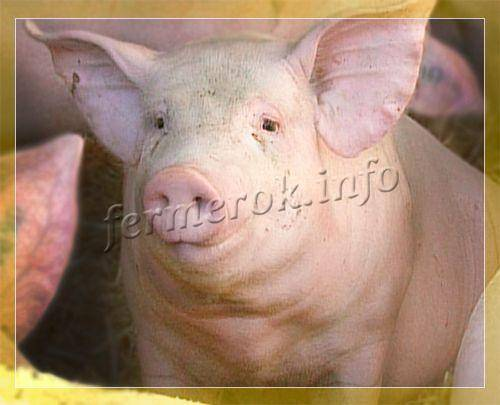 Русские свиньи русская белая порода свиней