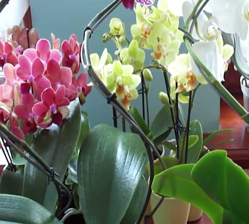 Почему не цветет орхидея: основные причины и методы борьбы с ними