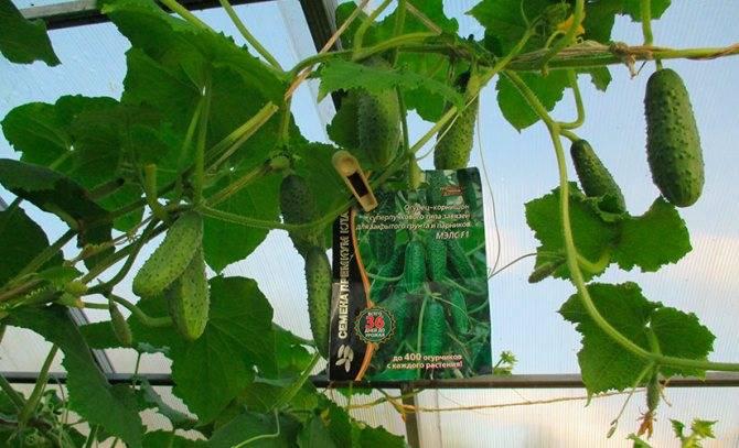 Сорта огурцов для урала: для грунта, теплиц, фото, отзывы