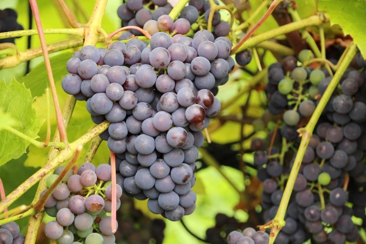 Сорт винограда декабрьский: что нужно знать о нем, описание сорта, отзывы