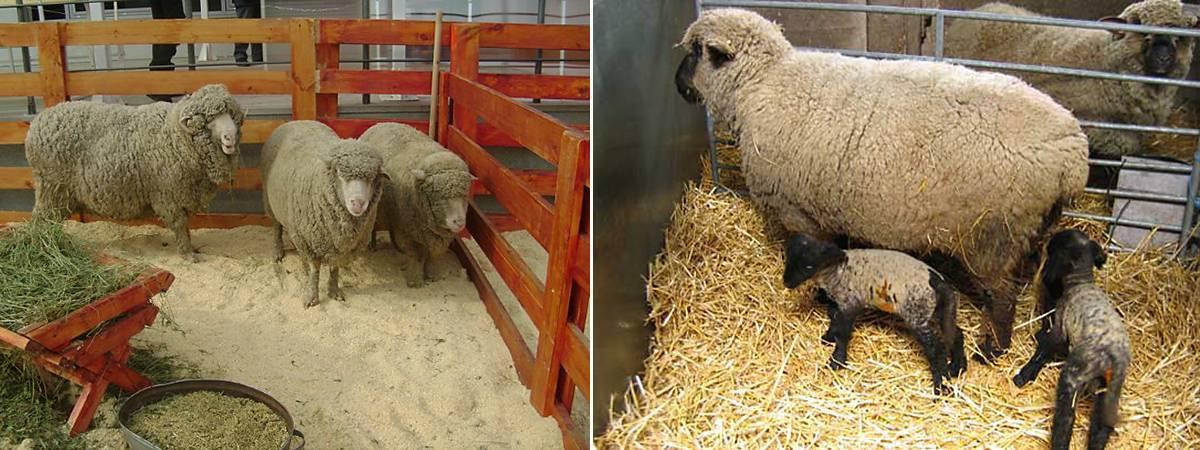 Самая распространенная порода овец в австралии