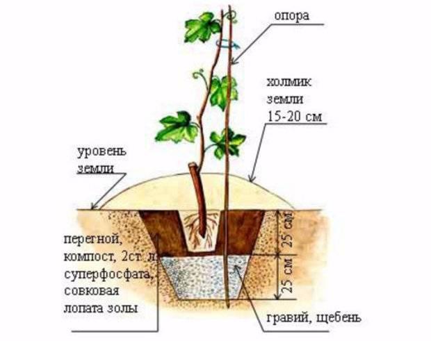 Удобрение винограда от а до я — секреты богатого урожая