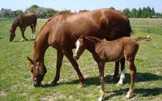 Обзор буденновской породы лошадей, ее описание и фото обзор буденновской породы лошадей, ее описание и фото