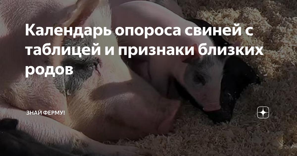 Роды (опорос) свиньи в домашних условиях: признаки и прием