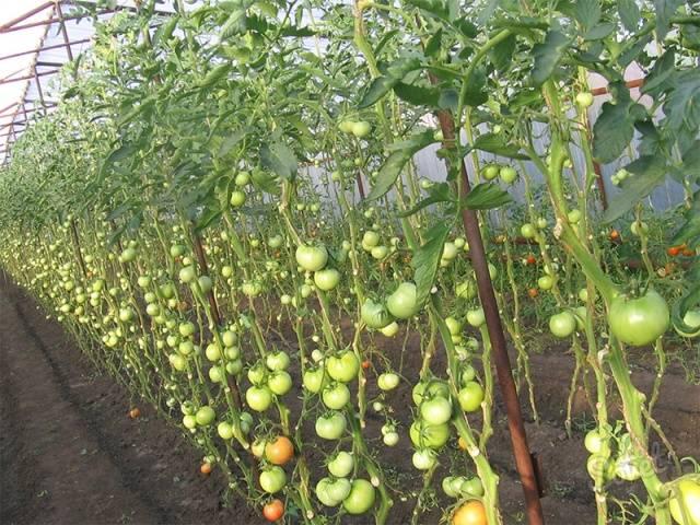 Томат сибирское чудо: описание и урожайность сорта, фото, отзывы