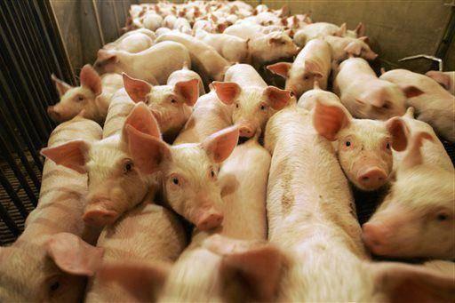 Стимуляторы роста для свиней — кормовые добавки и витамины