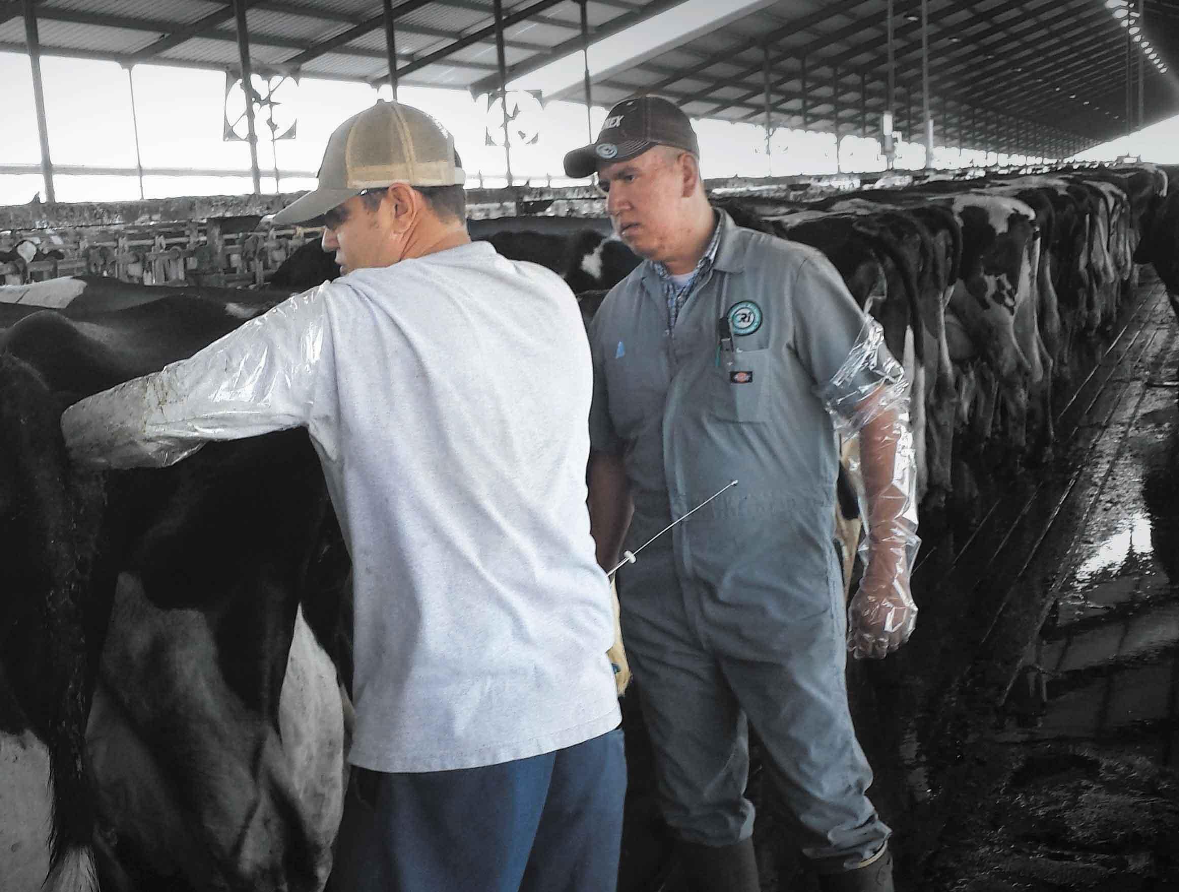 Осеменение коров - способы, методы, необходимый материал и рекомендации начинающим фермерам