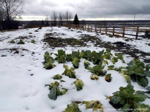 Можно ли замораживать свежую капусту в морозилке на зиму (кочаном, листьями, нашинкованную), как долго хранить овощ?