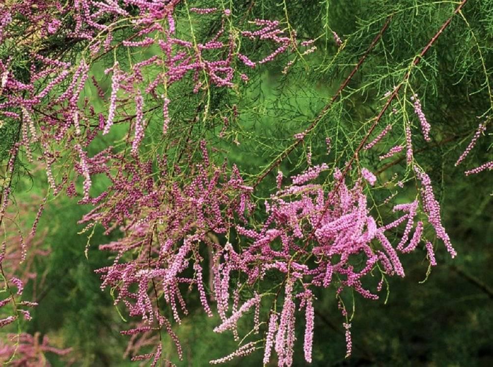 Тамарикс посадка и уход в открытом грунте размножение черенками выращивание из семян