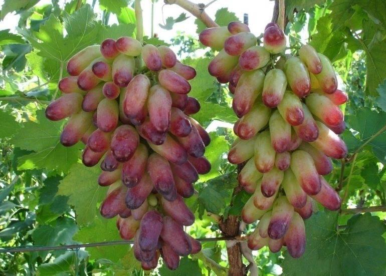 Виноград маникюр фингер: описание сорта, характеристика, особенности выращивания