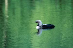 Кто такая чомга. утка под названием поганка или большая чомга – птица, не перестающая удивлять